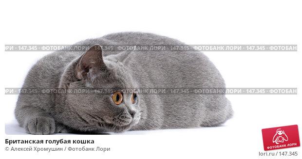 Британская голубая кошка, фото № 147345, снято 22 марта 2007 г. (c) Алексей Хромушин / Фотобанк Лори