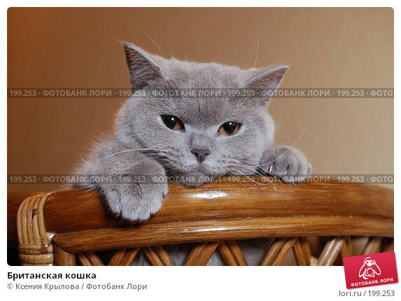 Британская кошка, фото № 199253, снято 8 февраля 2008 г. (c) Ксения Крылова / Фотобанк Лори