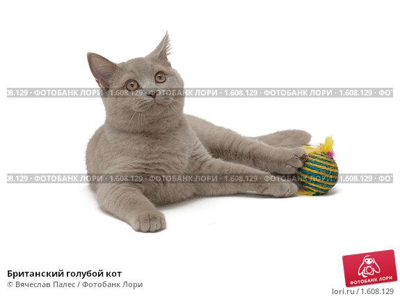 Купить «Британский голубой кот», эксклюзивное фото № 1608129, снято 14 марта 2010 г. (c) Вячеслав Палес / Фотобанк Лори