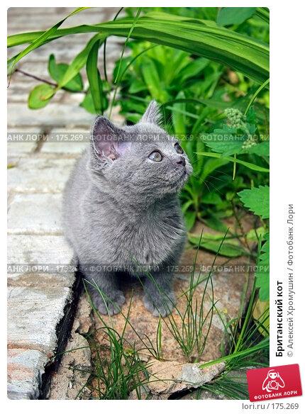 Британский кот, фото № 175269, снято 1 августа 2005 г. (c) Алексей Хромушин / Фотобанк Лори