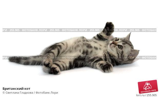 Купить «Британский кот», фото № 255905, снято 16 октября 2007 г. (c) Cветлана Гладкова / Фотобанк Лори