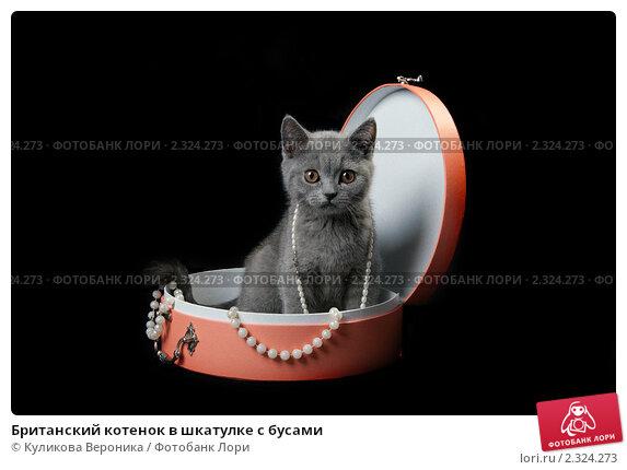Купить «Британский котенок в шкатулке с бусами», эксклюзивное фото № 2324273, снято 5 февраля 2011 г. (c) Куликова Вероника / Фотобанк Лори