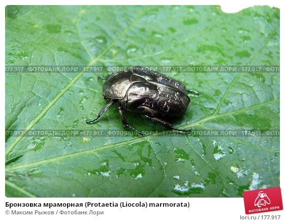Бронзовка мраморная (Protaetia (Liocola) marmorata), фото № 177917, снято 26 марта 2017 г. (c) Максим Рыжов / Фотобанк Лори