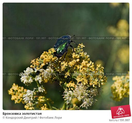 Бронзовка золотистая, фото № 191997, снято 16 июня 2007 г. (c) Кондорский Дмитрий / Фотобанк Лори