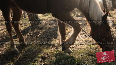 Brown and white male beautiful horse grazing fresh grass in the meadow in sun rays slow motion. Стоковое видео, видеограф Denis Mishchenko / Фотобанк Лори