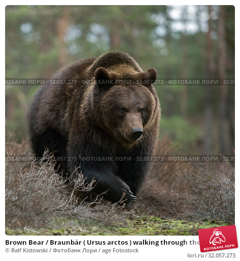 Brown Bear / Braunbär ( Ursus arctos ) walking through the shrubs in a forest, looks angry, dangerous encounter, huge paws, frontal side shot, Europe. Стоковое фото, фотограф Ralf Kistowski / age Fotostock / Фотобанк Лори
