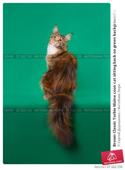 Купить «Brown Classic Torbie Maine coon cat sitting back on green background showing lush tail», фото № 27322133, снято 9 декабря 2017 г. (c) Сергей Дорошенко / Фотобанк Лори