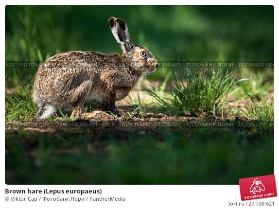 Купить «Brown hare (Lepus europaeus)», фото № 27730621, снято 21 октября 2018 г. (c) PantherMedia / Фотобанк Лори