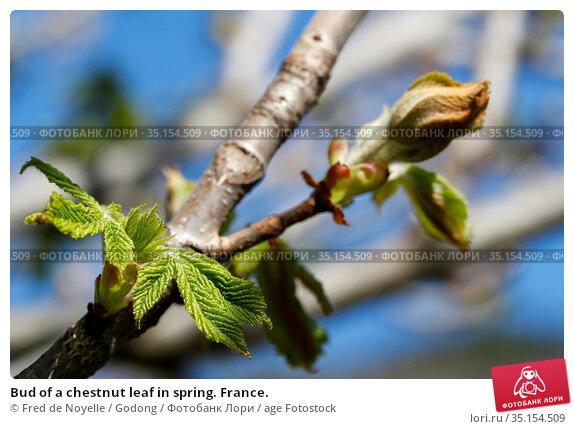 Bud of a chestnut leaf in spring. France. Стоковое фото, фотограф Fred de Noyelle / Godong / age Fotostock / Фотобанк Лори