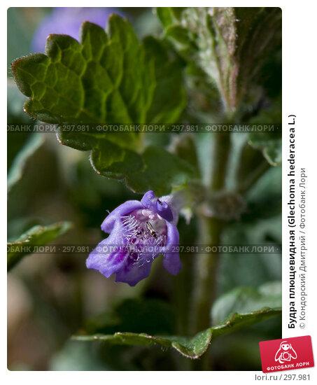 Купить «Будра плющевидная (Glechoma hederacea L.)», фото № 297981, снято 3 мая 2008 г. (c) Кондорский Дмитрий / Фотобанк Лори