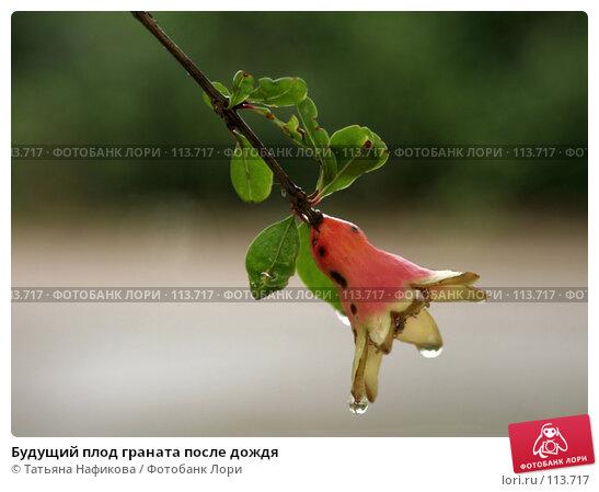 Будущий плод граната после дождя, фото № 113717, снято 14 июля 2007 г. (c) Татьяна Нафикова / Фотобанк Лори