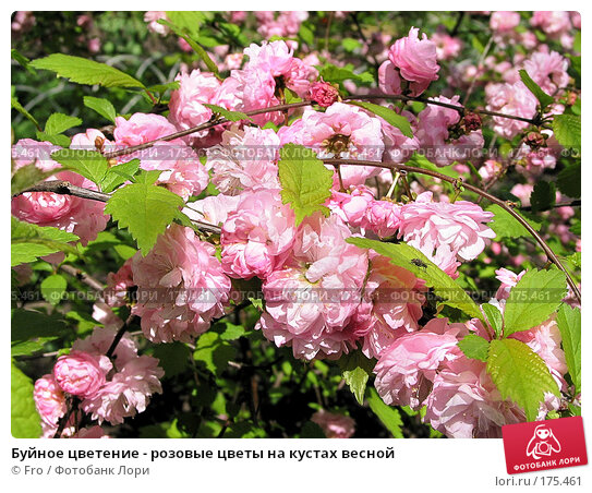 Буйное цветение - розовые цветы на кустах весной, фото № 175461, снято 21 июля 2017 г. (c) Fro / Фотобанк Лори
