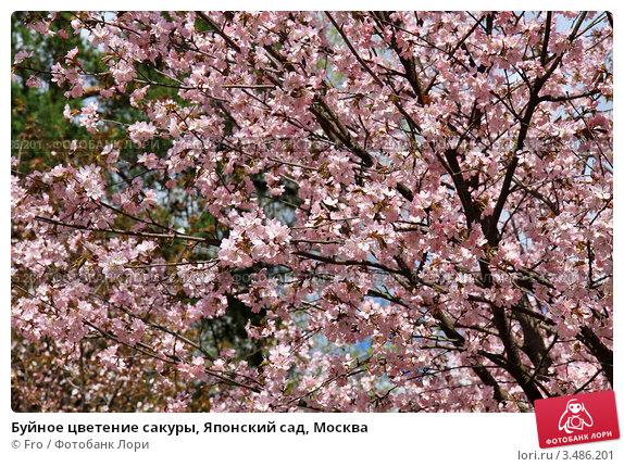 Купить «Буйное цветение сакуры, Японский сад, Москва», фото № 3486201, снято 30 апреля 2012 г. (c) Fro / Фотобанк Лори