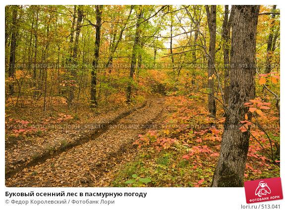 Купить «Буковый осенний лес в пасмурную погоду», фото № 513041, снято 18 октября 2008 г. (c) Федор Королевский / Фотобанк Лори