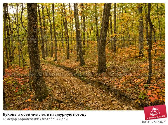 Купить «Буковый осенний лес в пасмурную погоду», фото № 513073, снято 18 октября 2008 г. (c) Федор Королевский / Фотобанк Лори
