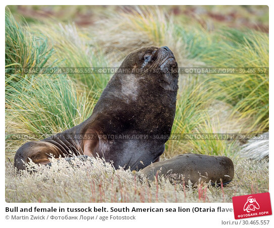 Bull and female in tussock belt. South American sea lion (Otaria flavescens, formerly Otaria byronia), also called the Southern Sea Lion or Patagonian sea lion. South America, Falkland Islands. Стоковое фото, фотограф Martin Zwick / age Fotostock / Фотобанк Лори
