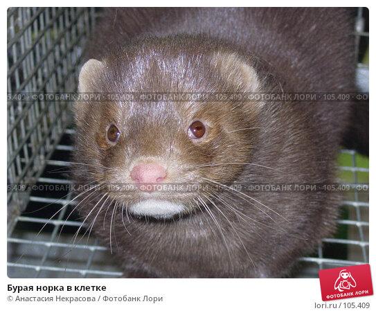Бурая норка в клетке, фото № 105409, снято 7 октября 2005 г. (c) Анастасия Некрасова / Фотобанк Лори