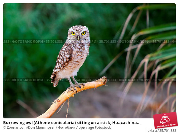Burrowing owl (Athene cunicularia) sitting on a stick, Huacachina... Стоковое фото, фотограф Zoonar.com/Don Mammoser / age Fotostock / Фотобанк Лори