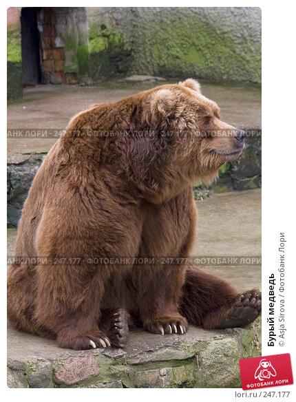 Бурый медведь, фото № 247177, снято 6 апреля 2008 г. (c) Asja Sirova / Фотобанк Лори