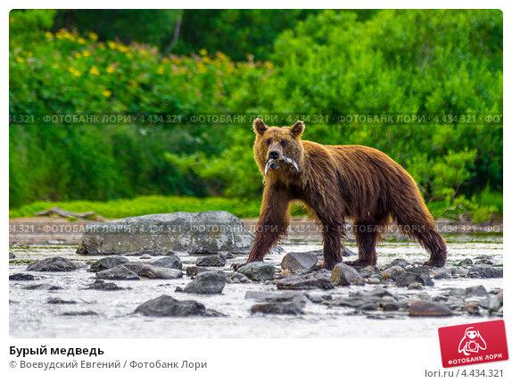 Купить «Бурый медведь», фото № 4434321, снято 13 августа 2012 г. (c) Воевудский Евгений / Фотобанк Лори