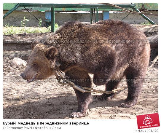 Бурый  медведь в передвижном зверинце, фото № 101129, снято 4 сентября 2004 г. (c) Parmenov Pavel / Фотобанк Лори