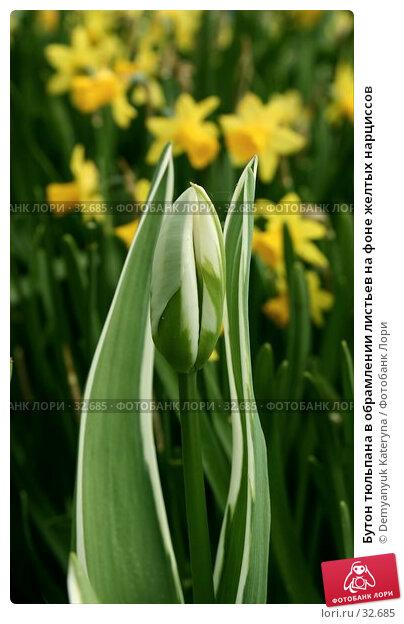 Бутон тюльпана в обрамлении листьев на фоне желтых нарциссов, фото № 32685, снято 11 апреля 2007 г. (c) Demyanyuk Kateryna / Фотобанк Лори
