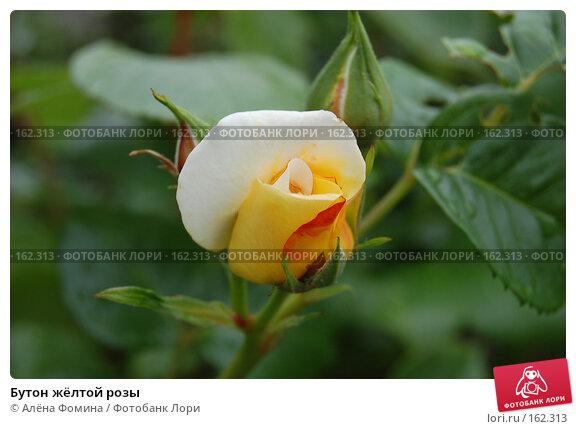 Бутон жёлтой розы, фото № 162313, снято 25 мая 2006 г. (c) Алёна Фомина / Фотобанк Лори