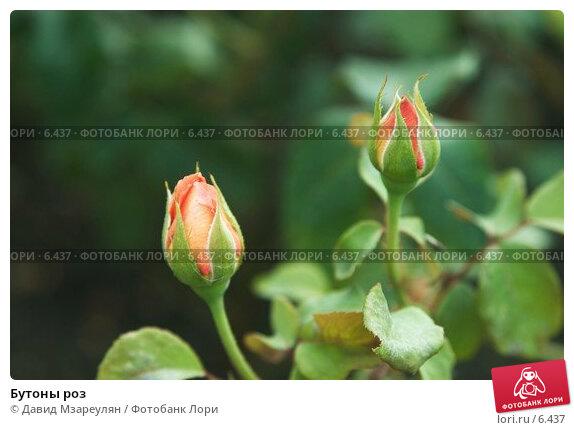 Купить «Бутоны роз», фото № 6437, снято 29 июля 2006 г. (c) Давид Мзареулян / Фотобанк Лори