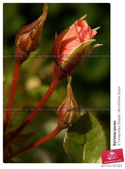 Бутоны розы, фото № 57921, снято 1 июля 2007 г. (c) Смирнова Лидия / Фотобанк Лори