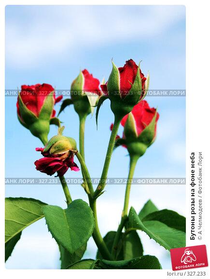 Купить «Бутоны розы на фоне неба», фото № 327233, снято 5 июня 2007 г. (c) A Челмодеев / Фотобанк Лори
