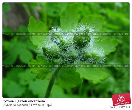 Купить «Бутоны цветов чистотела», фото № 327945, снято 3 мая 2008 г. (c) Михаил Ковалев / Фотобанк Лори