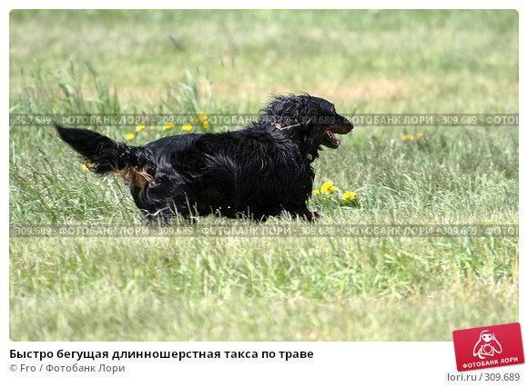 Купить «Быстро бегущая длинношерстная такса по траве», фото № 309689, снято 31 мая 2008 г. (c) Fro / Фотобанк Лори