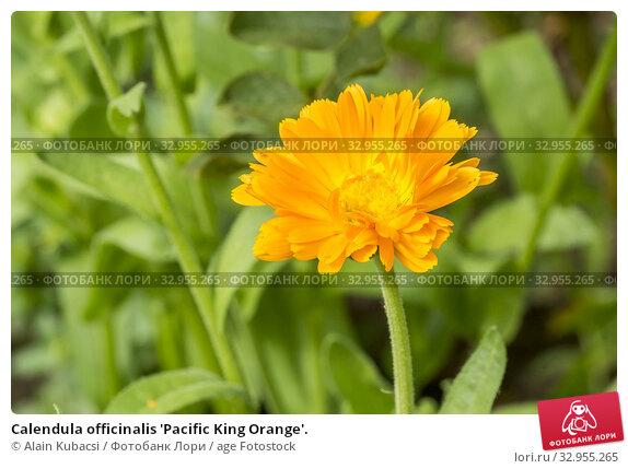Calendula officinalis 'Pacific King Orange'. Стоковое фото, фотограф Alain Kubacsi / age Fotostock / Фотобанк Лори