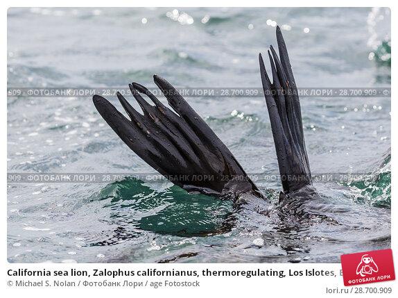 Купить «California sea lion, Zalophus californianus, thermoregulating, Los Islotes, Baja California Sur, Mexico.», фото № 28700909, снято 7 апреля 2016 г. (c) age Fotostock / Фотобанк Лори