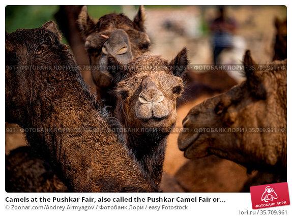 Camels at the Pushkar Fair, also called the Pushkar Camel Fair or... Стоковое фото, фотограф Zoonar.com/Andrey Armyagov / easy Fotostock / Фотобанк Лори