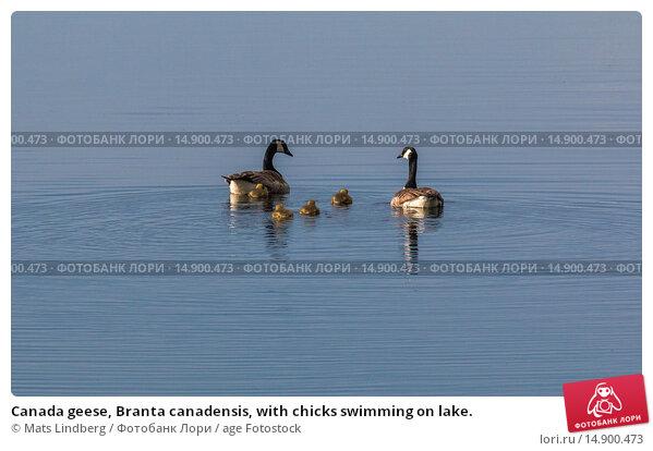 Купить «Canada geese, Branta canadensis, with chicks swimming on lake.», фото № 14900473, снято 22 июня 2018 г. (c) age Fotostock / Фотобанк Лори