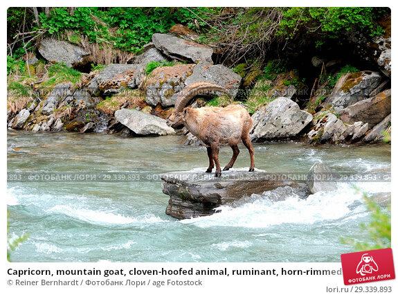 Купить «Capricorn, mountain goat, cloven-hoofed animal, ruminant, horn-rimmed bearer, Bovidae, Boviden, goats, goat-like, Capra ibex, mountains, horns, horns,...», фото № 29339893, снято 17 ноября 2019 г. (c) age Fotostock / Фотобанк Лори