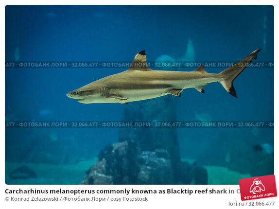 Carcharhinus melanopterus commonly knowna as Blacktip reef shark in Oceanario de Lisboa in Lisbon, Portugal. Стоковое фото, фотограф Konrad Zelazowski / easy Fotostock / Фотобанк Лори