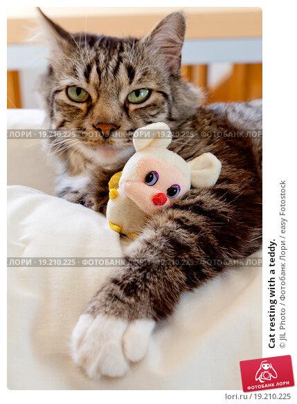 Купить «Cat resting with a teddy.», фото № 19210225, снято 14 декабря 2019 г. (c) easy Fotostock / Фотобанк Лори