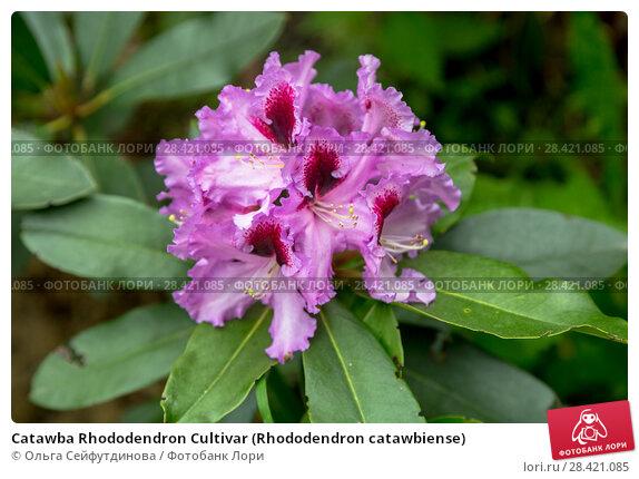 Купить «Catawba Rhododendron Cultivar (Rhododendron catawbiense)», фото № 28421085, снято 10 июня 2017 г. (c) Ольга Сейфутдинова / Фотобанк Лори