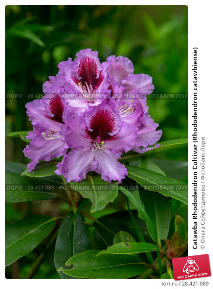 Купить «Catawba Rhododendron Cultivar (Rhododendron catawbiense)», фото № 28421089, снято 10 июня 2017 г. (c) Ольга Сейфутдинова / Фотобанк Лори
