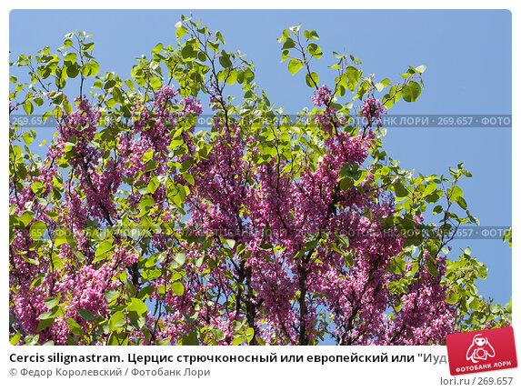 """Cercis silignastram. Церцис стрючконосный или европейский или """"Иудино дерево"""", фото № 269657, снято 1 мая 2008 г. (c) Федор Королевский / Фотобанк Лори"""