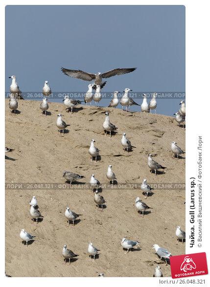 Купить «Чайка. Gull (Larus sp.)», фото № 26048321, снято 27 сентября 2015 г. (c) Василий Вишневский / Фотобанк Лори