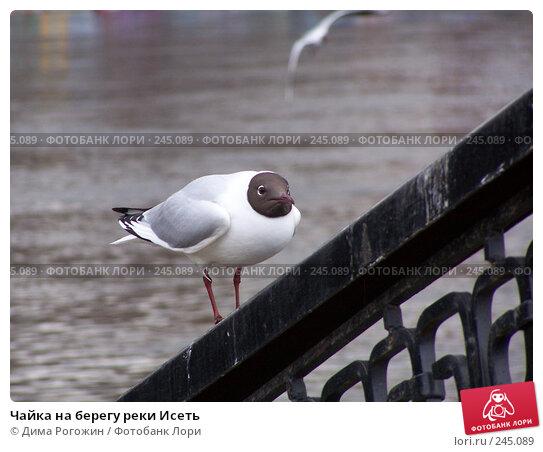 Чайка на берегу реки Исеть, фото № 245089, снято 3 мая 2007 г. (c) Дима Рогожин / Фотобанк Лори