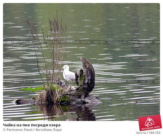 Чайка на пне посреди озера, фото № 144153, снято 17 мая 2007 г. (c) Parmenov Pavel / Фотобанк Лори