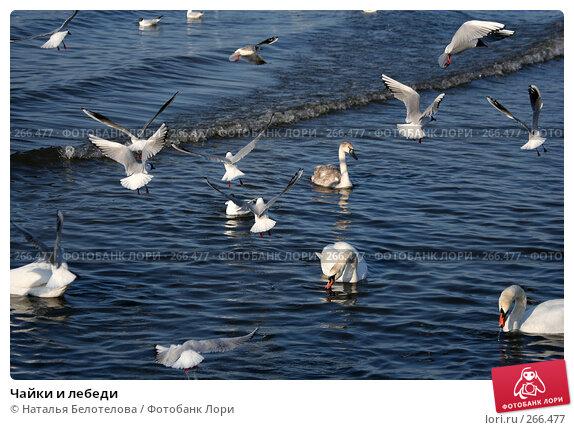 Чайки и лебеди, фото № 266477, снято 29 марта 2008 г. (c) Наталья Белотелова / Фотобанк Лори