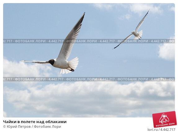 Чайки в полете над облаками. Стоковое фото, фотограф Юрий Петров / Фотобанк Лори