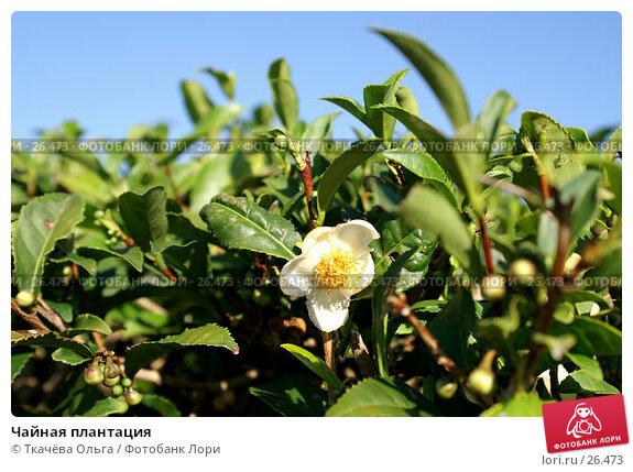 Чайная плантация, фото № 26473, снято 4 октября 2006 г. (c) Ткачёва Ольга / Фотобанк Лори