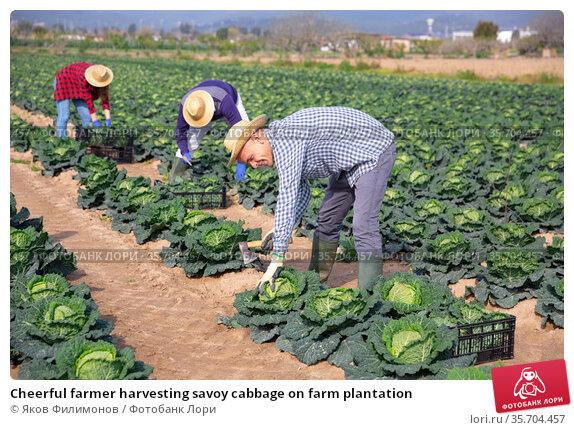 Cheerful farmer harvesting savoy cabbage on farm plantation. Стоковое фото, фотограф Яков Филимонов / Фотобанк Лори