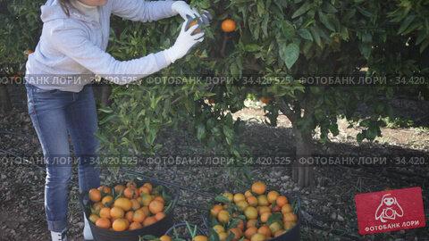 Cheerful female farmer picking carefully ripe mandarins on plantation. Стоковое видео, видеограф Яков Филимонов / Фотобанк Лори